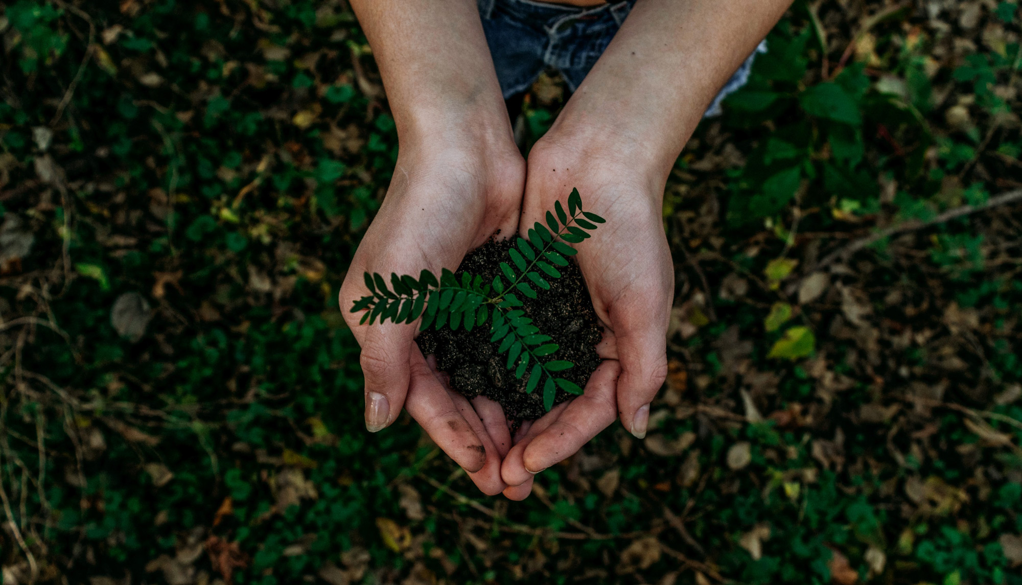 Das Bild zeigt eine junge Pflanze in zwei Händen.